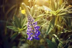 Красивый пурпурный lupine цветок, загоренный солнечным светом стоковое изображение