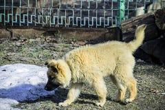 Красивый пушистый бежевый щенок стоковое изображение rf