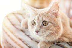 Красивый пушистый кот разводит крупный план Ангоры персиянки Горизонтальная рамка Стоковое Изображение RF