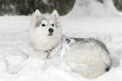 Красивый пушистый осиплый щенок кладя в снег Белый цвет стоковые фотографии rf