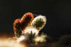 Красивый разветвленный кактус как предпосылка Стоковая Фотография RF