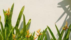 Красивый расти цветка Strelitzia около стены Милый расти цветков райской птицы около простой строя белой стены дальше сток-видео