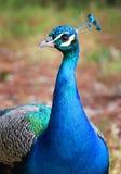 Красивый радужный голубой павлин Стоковые Изображения RF