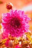 Красивый розовый георгин цветка Стоковая Фотография