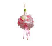 Красивый розовый и белый fuchsia цветок Стоковое Изображение RF