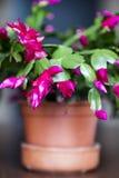 Красивый розовый кактус рождества в глиняном горшке Стоковые Изображения RF