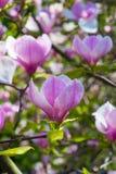 Красивый розовый крупный план цветения цветка магнолии Стоковая Фотография