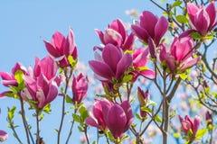 Красивый розовый крупный план цветения цветка магнолии Стоковое фото RF