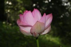 Красивый розовый лотос с темной предпосылкой стоковая фотография rf