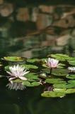 Красивый розовый лотос, водоросль с отражением стоковые изображения rf