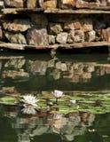 Красивый розовый лотос, водоросль с отражением стоковые изображения