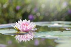 Красивый розовый лотос, розовая лилия воды Стоковое Изображение RF