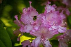 Красивый розовый рододендрон цветет на естественной предпосылке Стоковое Изображение RF