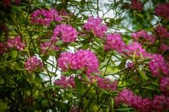 Красивый розовый рододендрон цветет на естественной предпосылке Стоковые Изображения RF