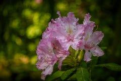 Красивый розовый рододендрон цветет на естественной предпосылке Стоковые Фотографии RF