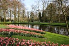 Красивый розовый тюльпан в саде Keukenhof Стоковые Фото