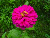 Красивый розовый цветок в саде Стоковые Изображения RF