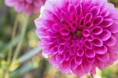 Красивый розовый цветок георгина Стоковое Изображение RF