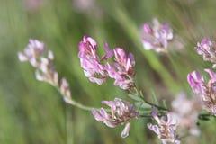Красивый розовый цветок горы на зеленой траве Стоковые Фото