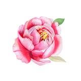 Красивый розовый цветок, картина акварели Стоковое Фото