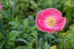 Красивый розовый цветок мака стоковые изображения rf