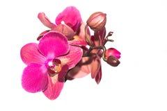 Красивый розовый цветок орхидеи на светлой предпосылке изолировано Стоковые Изображения