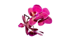 Красивый розовый цветок орхидеи на светлой предпосылке изолировано Стоковое фото RF
