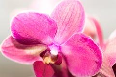 Красивый розовый цветок орхидеи на светлой предпосылке изолировано Стоковые Фото