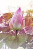 Красивый розовый цветок лотоса бутона в естественном пруде Стоковое фото RF