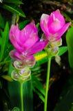 Красивый розовый цветок тюльпана тюльпана Таиланда Сиама Стоковое Изображение RF