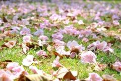 Красивый розовый цветок цветения tabebuia падая от высокого дерева в поле зеленой травы стоковое фото