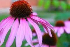 Красивый розовый цветок эхинацеи стоковая фотография rf
