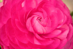 Красивый розовый цветок японской камелии Стоковое Изображение RF
