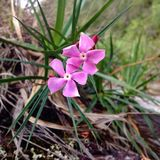 Красивый розовый цветок Стоковые Фотографии RF