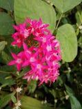 Красивый розовый цветок Стоковое фото RF