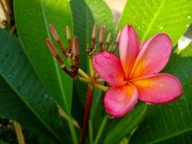 Красивый розовый цветок plumeria после дождя стоковое фото