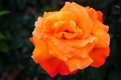 красивый розовый цветочный сад крупного плана стоковая фотография