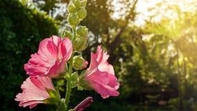 Красивый розовый hollyhock полного цветения цветет в парке Стоковые Фото