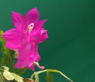 Красивый розовый silk цветок в солнечном дне Стоковое Изображение