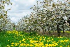 Красивый сад вишни в цветении Стоковое Изображение RF