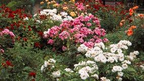 Красивый сад роз, flowerbed с Роза-цветками другого цвета, тонизированный год сбора винограда colorized стоковое фото rf