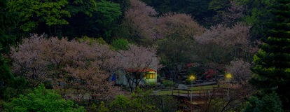 Красивый сад Сакуры в Тайване Стоковые Фотографии RF