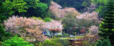 Красивый сад Сакуры в Тайване Стоковая Фотография
