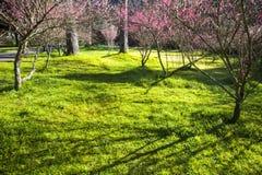 Красивый сад Сакуры в ферме Тайване Wuling Стоковые Изображения RF