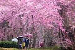 Красивый сад Сакуры Стоковые Изображения RF
