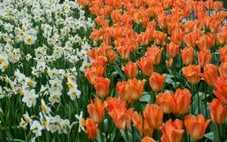Красивый сад тюльпана весной Стоковое Изображение