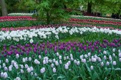 Красивый сад тюльпана весной Стоковые Фото