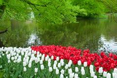 Красивый сад тюльпана весной Стоковые Изображения