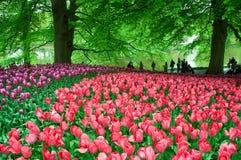 Красивый сад тюльпана весной Стоковое Фото