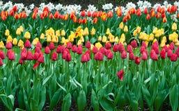 Красивый сад тюльпана весной Стоковая Фотография RF